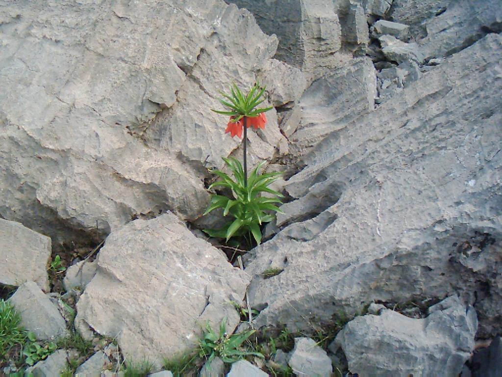 Ters Lale Çiçeği Resimleri